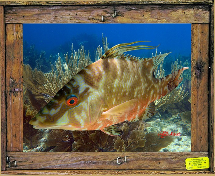 """""""HOGFISH IN THE GORGONIANS"""""""