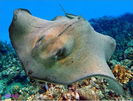 """STINGRAY ON THE REEF"""