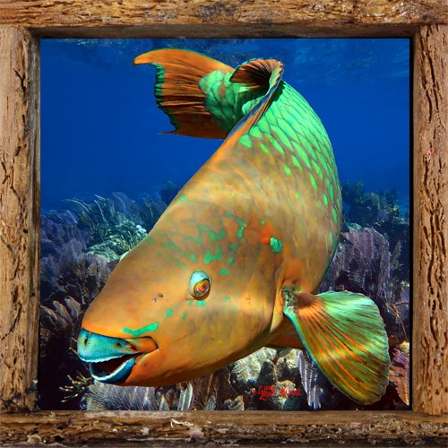 Parrotfish in the Corals