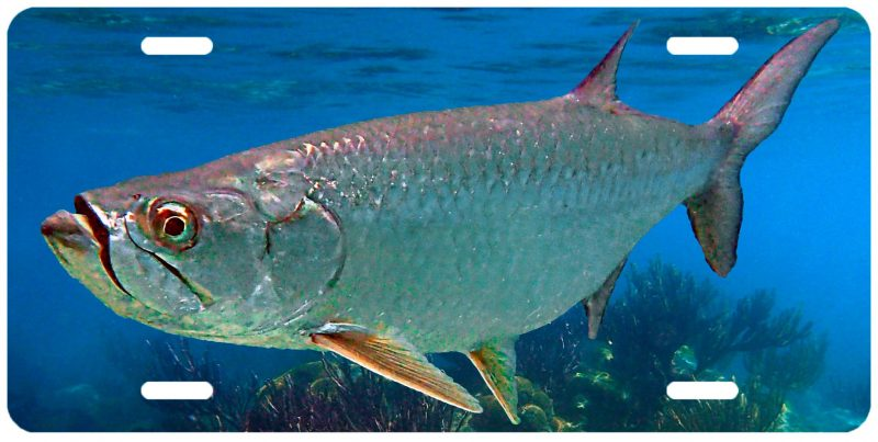 """TARPON ON THE REEF"""